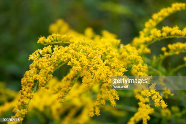 goldenrod - goldenrod stock pictures, royalty-free photos & images