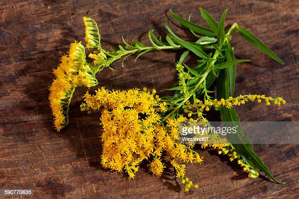 goldenrod, solidago, blossoms, medicinal herb - goldenrod stock pictures, royalty-free photos & images