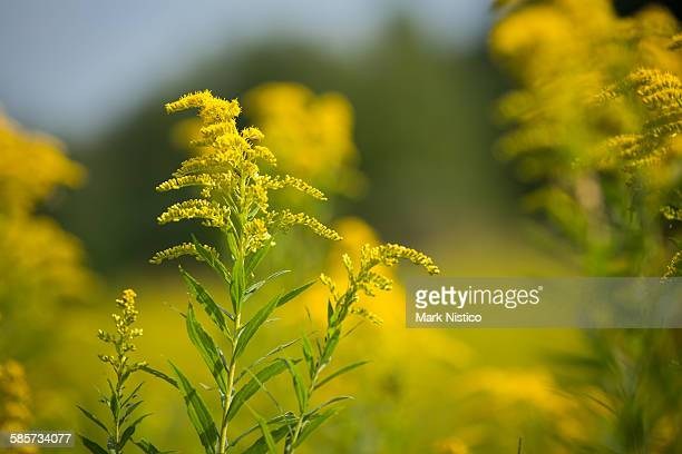 goldenrod wildflower in focus - goldenrod stock pictures, royalty-free photos & images