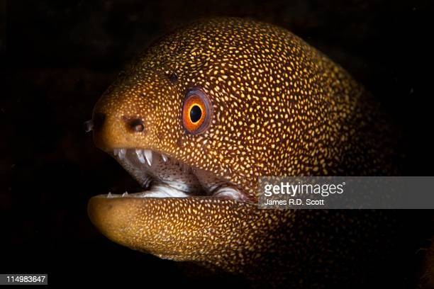 goldentail moray eel, dominica - saltwater eel stock photos and pictures