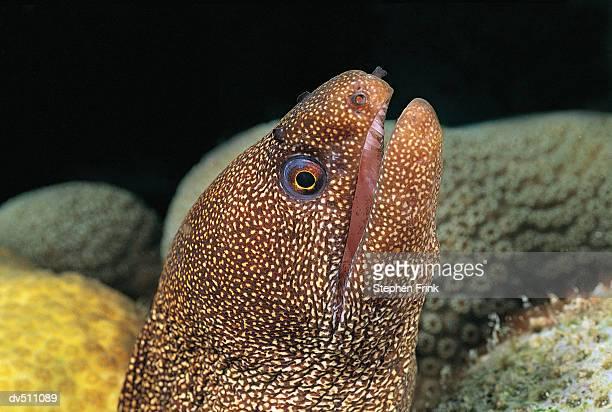Goldentail Moray Eel (Gymnothorax Minliaris)