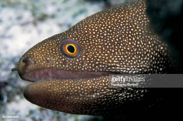 Goldentail Moray.