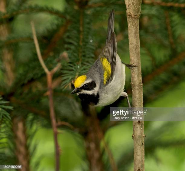 golden-winged warbler bird - warbler stock pictures, royalty-free photos & images