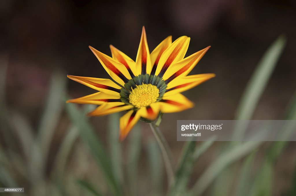 Golden-yellow Gazania flower : Stock Photo