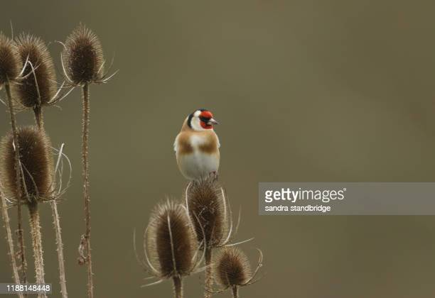 a goldfinch, carduelis carduelis, feeding on the seeds of a teasel plant. - bicolore colore foto e immagini stock