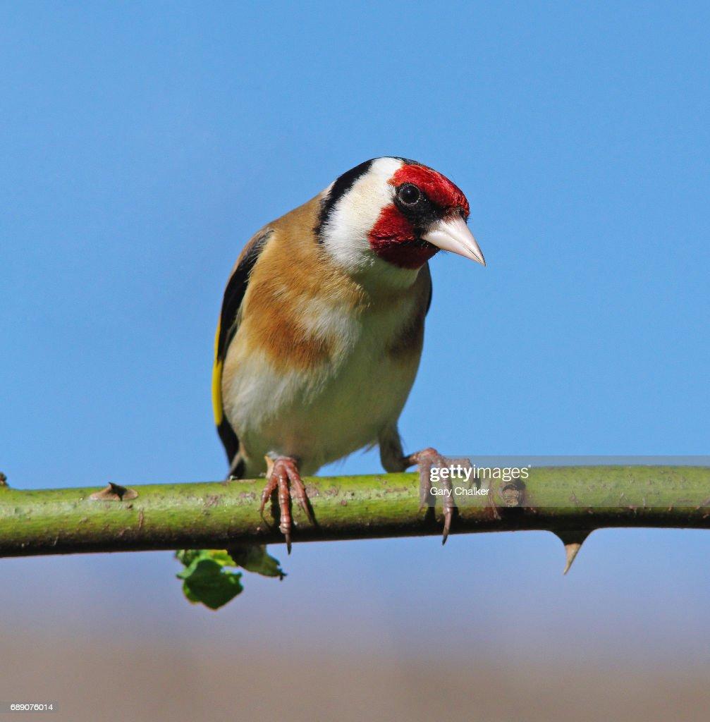 Goldfinch [Carduelis carduelis] : Stock Photo