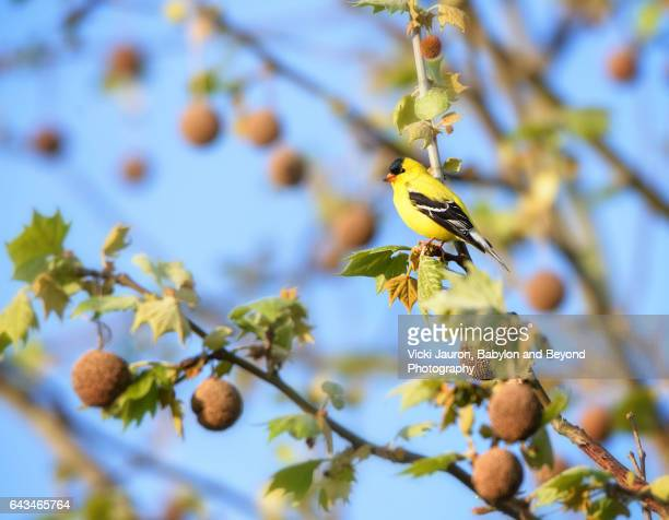 goldfinch in breeding colors against vibrant background - yellow perch stock photos and pictures