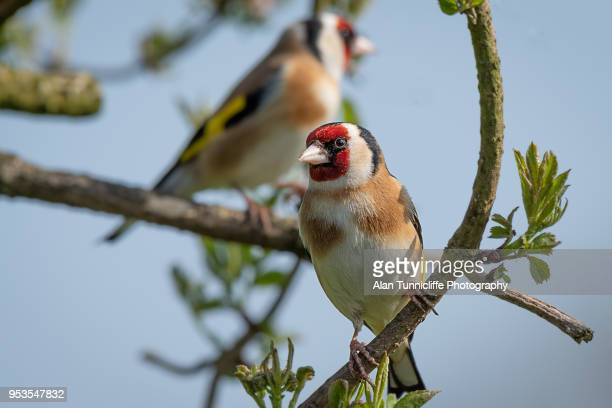 goldfinch on branch - perching stock photos and pictures