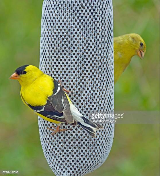 Goldfinch Pair on Thistle Feeder