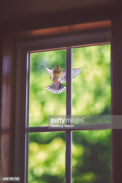 goldfinch pecking at window - rebecca nelson stock pictures, royalty-free photos & images
