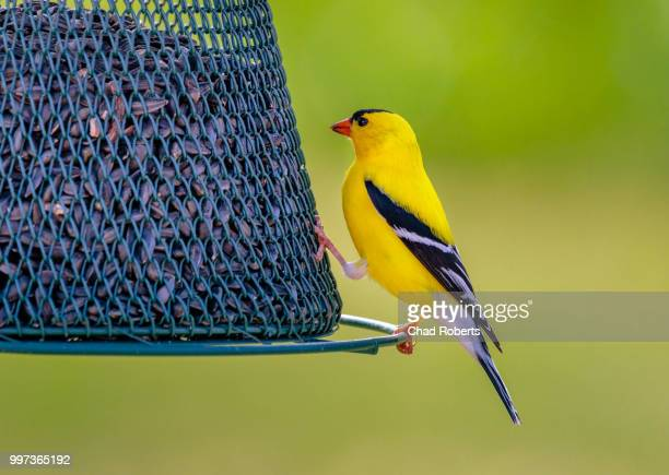 goldfinch perch - american goldfinch stock pictures, royalty-free photos & images