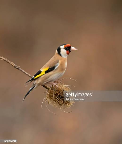 goldfinch perched on teasle head - uk photos stock pictures, royalty-free photos & images