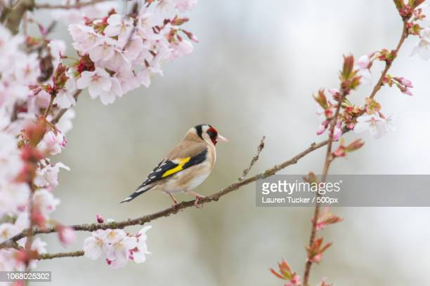 goldfinch perching on cherry tree branch - cherry blossom stock pictures, royalty-free photos & images