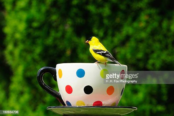 Goldfinch perching on coffee cup
