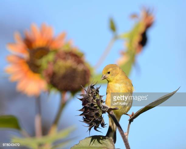 goldfinch perching on sunflower, tichigan, wisconsin, usa - staadts,_wisconsin stock pictures, royalty-free photos & images