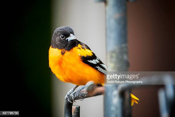 goldfinch - american goldfinch stock pictures, royalty-free photos & images
