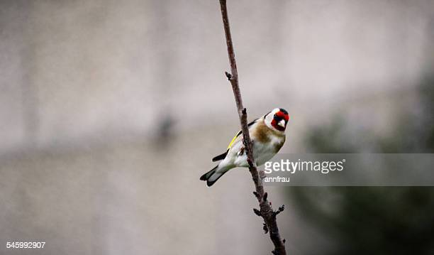goldfinch - annfrau stock pictures, royalty-free photos & images