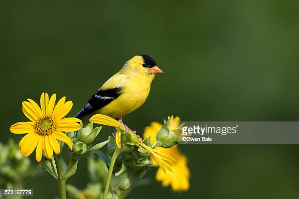 goldfinch portrait - american goldfinch stock pictures, royalty-free photos & images