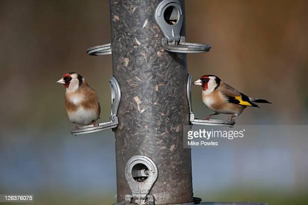 Goldfinches (Carduelis carduelis) adult on sunflower seed bird feeder, Norfolk, England, UK