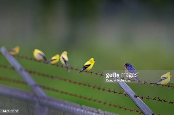 Goldfinches  bird