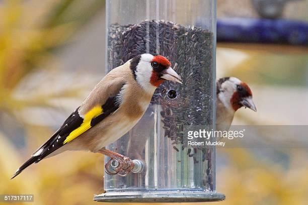 goldfinches on a garden feeder - ニジェール ストックフォトと画像