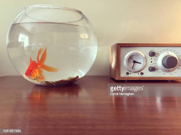 a goldfish and a clock - goldfish stock pictures, royalty-free photos & images