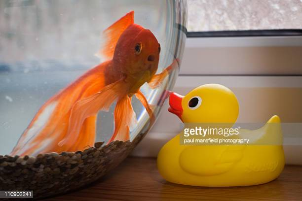 Goldfish and rubber duck