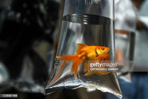 Goldfish are kept in a plastic bag filled with water at the weekly pet market on Galiff Street as it reopened in Kolkata on September 6, 2020.