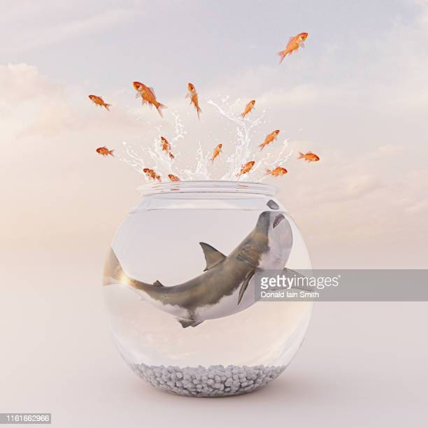 goldfish bowl series: goldfish leap out to escape great white shark - goldfish leap stock pictures, royalty-free photos & images