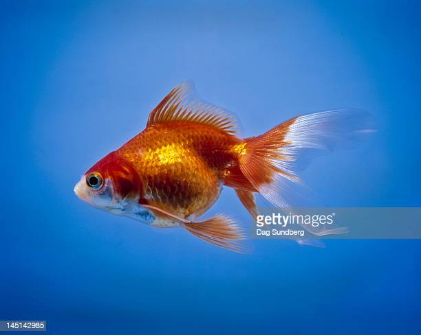 goldfish, carassius auratus - freshwater stock pictures, royalty-free photos & images