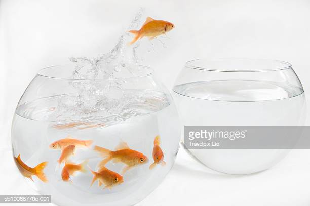 Goldfish escaping from crowded bowl to empty one