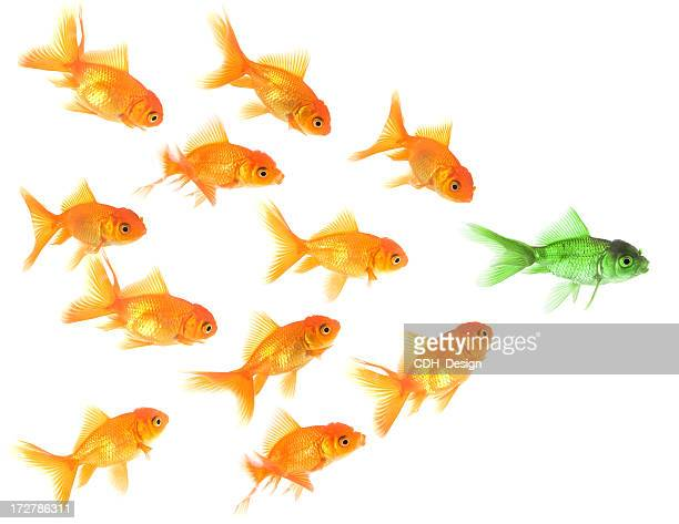 Goldfish follow their leader