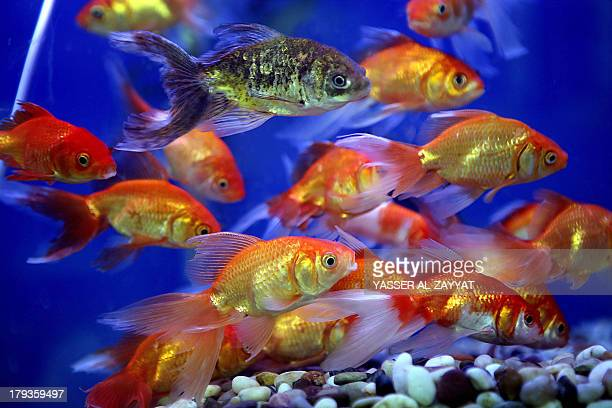Goldfish for sale swim in an aquarium at a market in Kuwait City on September 2 where each fish is sold for three Kuwaiti Dinar AFP PHOTO/YASSER...