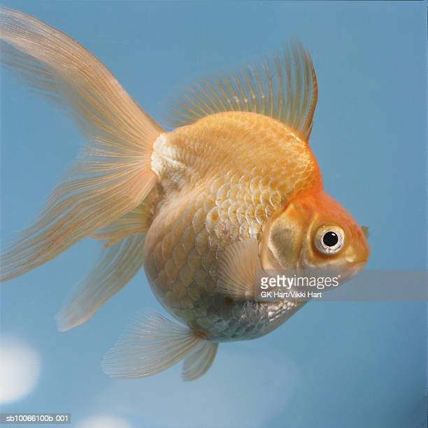 Goldfish in bowl, close-up