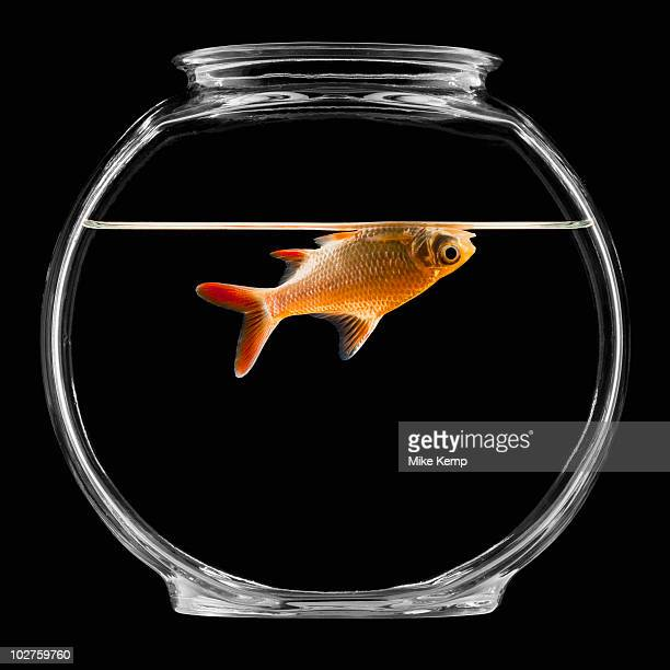 goldfish in bowl - rest in peace stock pictures, royalty-free photos & images