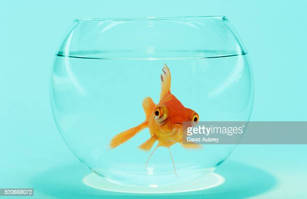 goldfish in fish bowl - goldfish stock pictures, royalty-free photos & images