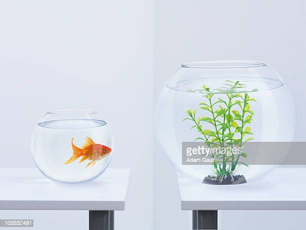 Goldfish in fishbowl looking at plant in opposite fishbowl