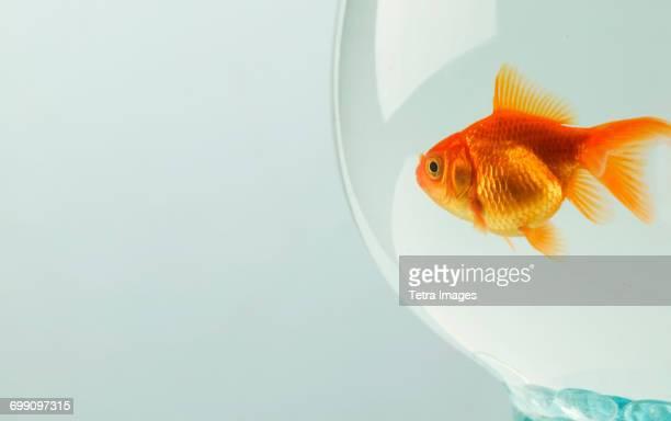 Goldfish (Carassius auratus) in fishbowl