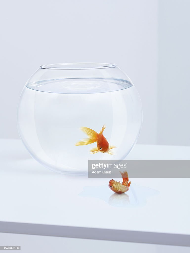 Goldfish in fishbowl watching goldfish flopping outside fishbowl : Stock Photo