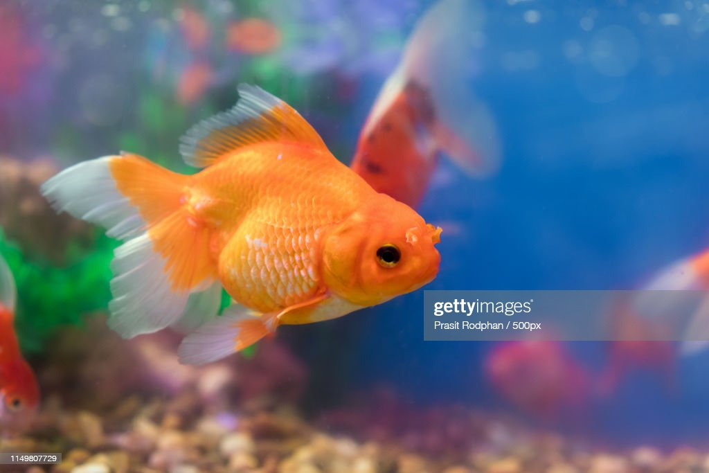 Goldfish In Freshwater Aquarium With Green Beautiful Planted Tro High Res Stock Photo Getty Images