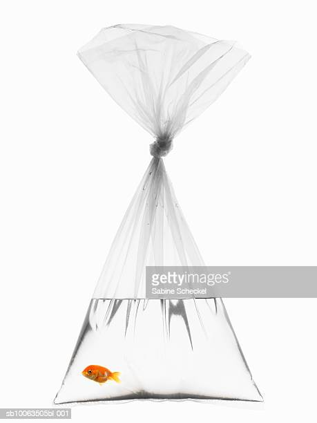 Goldfish in plastic bag on white background
