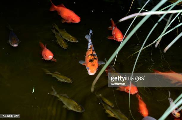 goldfish in pond - natur stock pictures, royalty-free photos & images