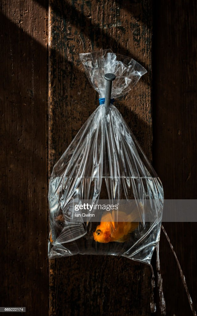 Goldfish in the Bag : Stock Photo
