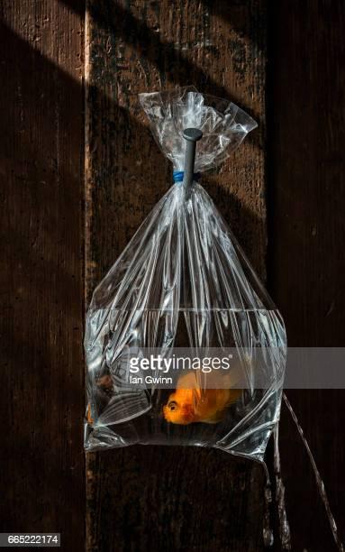 goldfish in the bag - ian gwinn stockfoto's en -beelden