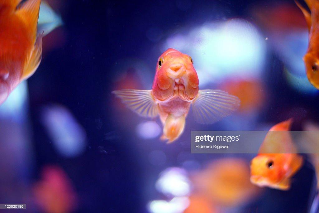 Goldfish is waving : ストックフォト