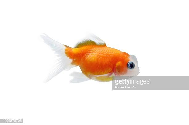 goldfish isolated on white background - rafael ben ari ストックフォトと画像