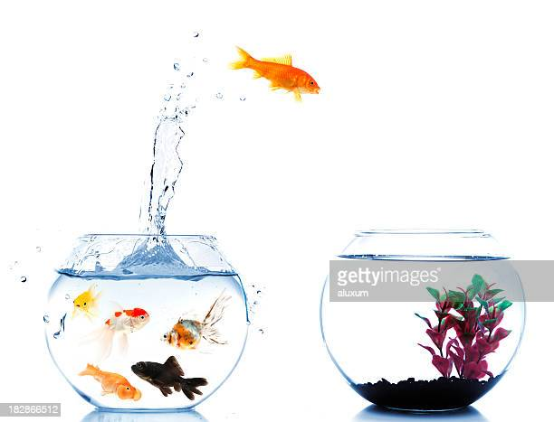goldfish jumping off to new fishtank - goldfish leap stock pictures, royalty-free photos & images