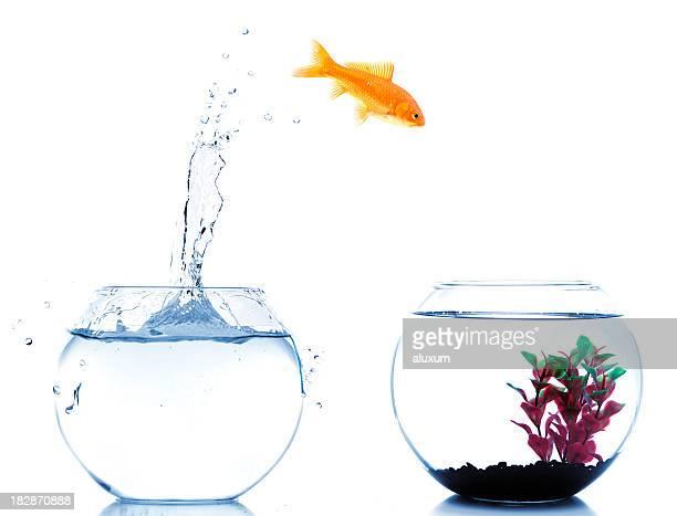 Goldfisch jumping auf zu neuen fishtank