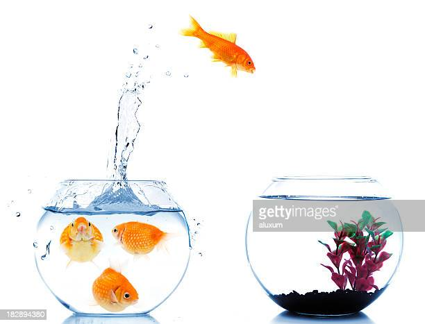 goldfish jumping off to new fishtank