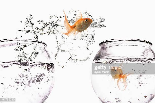 goldfish jumping out of bowl - goldfish leap stock pictures, royalty-free photos & images